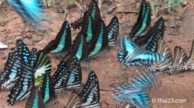 Schmetterlinge Thailand