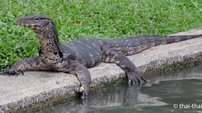 Warane in Thailand