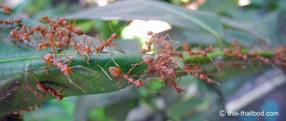 Thailand Ameisen