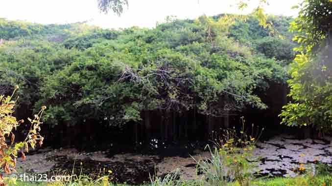 Sai Ngam Banyan Baum