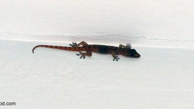 Gecko im Zimmer ?