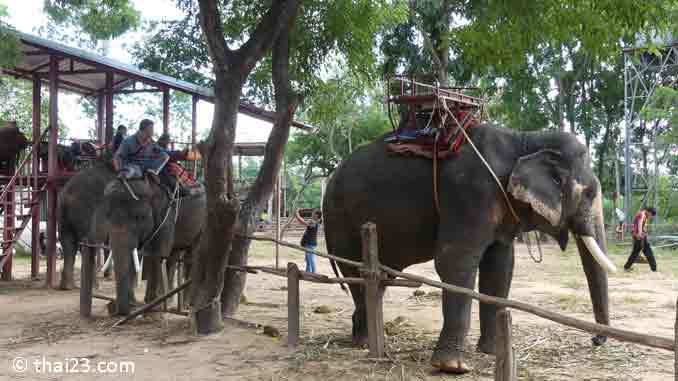 Elefant Surin