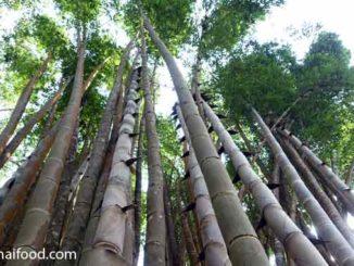Bambus in Thailand