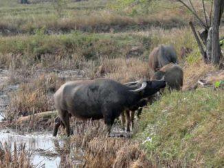 Thailand in Wasserbüffel