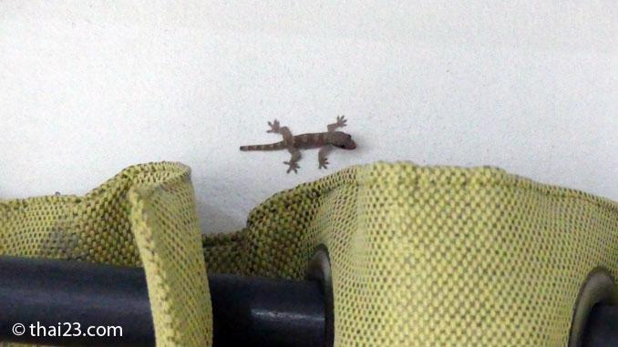 Gecko im Zimmer